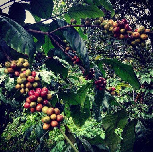 Augančios kavos pupelės