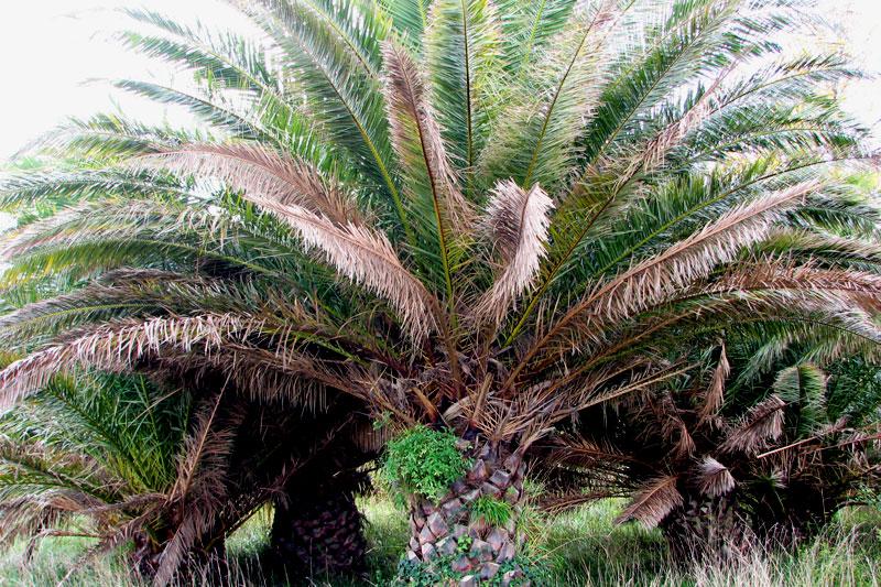 Sena, didelė ir tikra palmė