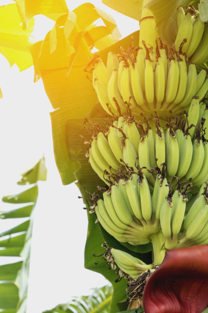 Bananų medis