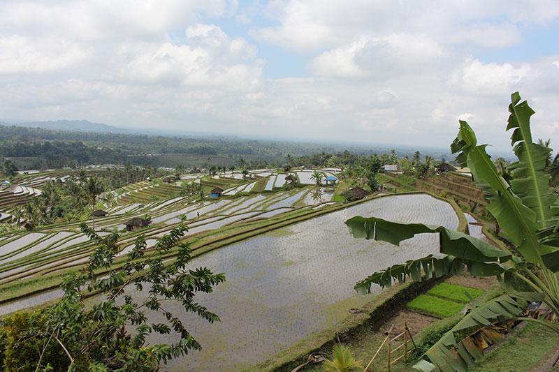 Jatiluwih ryžių terasos