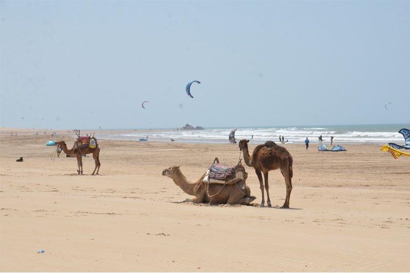 Kupranugariai, Marokas
