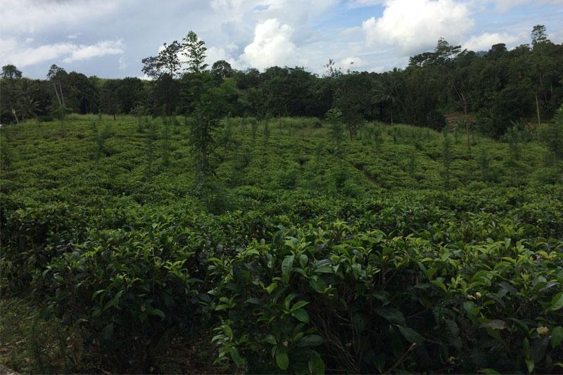 Arbatos plantacija, Šri Lanka